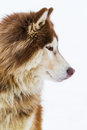 Alaskan malamute on snow in the Stock Photo