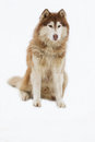 Alaskan Malamute snow Royalty Free Stock Photo