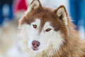 Alaskan Malamute on Snow Royalty Free Stock Photo