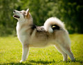 Alaskan malamute in a summer Stock Images