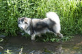 Alaskan malamute wading in water Royalty Free Stock Photo