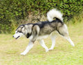 Alaskan malamute a young beautiful light gray black and white dog walking on the lawn the mal dog looks like a wolf with a proud Stock Images