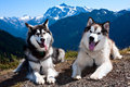 Alaskan malamutes a female and male alaska malamute take a break on a hike in the mountains Stock Images