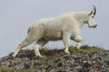 Alaskan Mountain goat
