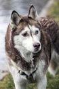 Alaskia malamut dog walking near a lake Stock Images