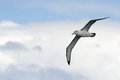 Albatross in flight black browed flying against sky Royalty Free Stock Image