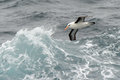 Albatross flying between waves Royalty Free Stock Photos
