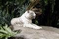 Albino Bengal Tiger