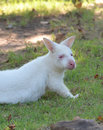 Albino bennett s wallaby lying on grass Stock Images