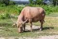 Albino buffalo white buffalo graze on the meadow animal Stock Photos