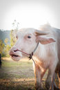 Albino buffalo (White Buffalo) graze on the meadow at sunset Royalty Free Stock Photo