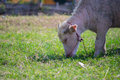 Albino calf little buffalo Royalty Free Stock Photo