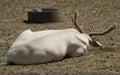 Albino deer Royalty Free Stock Photo