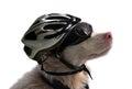 Albino dog with sunglasses and bike helmet Royalty Free Stock Photo