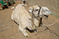 Albino dromedary camel sitting down Royalty Free Stock Photos