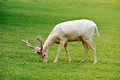 Albino fallow deer Royalty Free Stock Photo