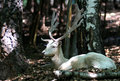 Albino Fallow Deer in forest Royalty Free Stock Photo