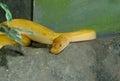 Albino green Burmese Python (Python bivittatus) Royalty Free Stock Photo