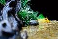 Albino Ceratophrys ornata (Pacman Frog) Royalty Free Stock Photo