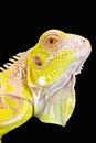 Albino iguana iguana iguana albinism is a rare genetic mutation that can result in spectacular results as seen in this Royalty Free Stock Photo
