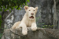 Albino lion lying on the rock Stock Image