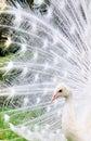 Albino Peacock Stock Images