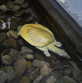 Albino shelled turtle siamese soft trionyx triunguis Royalty Free Stock Photo