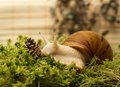 Albino snail achatina achatina white tiger in sphagnum moss shallow depth of field focus on the eye of a Royalty Free Stock Image