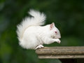 Albino squirrel a rare white in kent uk Royalty Free Stock Photo