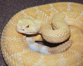 An albino western diamondback rattlesnake crotalus atrox a close up of Royalty Free Stock Photography