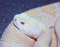 An albino western diamondback rattlesnake crotalus atrox a close up of Royalty Free Stock Photo