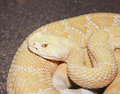 An albino western diamondback rattlesnake crotalus atrox a close up of Royalty Free Stock Images