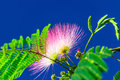 Albizia bud in the azure sky Stock Photo