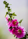 Alcea commonly known as hollyhocks a genus of about species of flowering plants in the mallow family malvaceae source wiki sighted Royalty Free Stock Photo