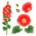 Alcea Rosea - hollyhocks, Aoi in the mallow family Malvaceae. Orange Red Flower Color. isolated on White Background. Royalty Free Stock Photo