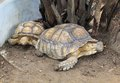 A aldabra giant tortoise (Aldabrachelys gigantea) Stock Photo