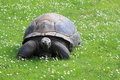 Aldabra giant tortoise Royalty Free Stock Photo
