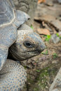 Aldabra Giant Tortoise , Aldabrachelys gigantean Royalty Free Stock Photo