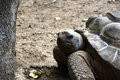 Aldabra Giant Tortoise, with detail of the animal& x27;s head, front paws and shell Royalty Free Stock Photo