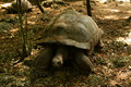 Aldabra Giant Tortoises Royalty Free Stock Photo