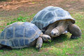 Aldabra Tortoises Stock Photos