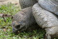 Aldabrah tortoise nd largest in the world Royalty Free Stock Photo