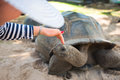 Aldabran Seychelles Giant Tort...