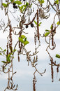 Alder branches with buds and leaves on a sky background spring theme Stock Photography