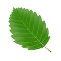 Alder leaf Royalty Free Stock Photo