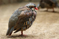 Alectoris chukar this is an in the zoo it was taking a nap in the afternoon sun Royalty Free Stock Photography
