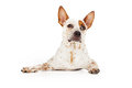 Alert australian cattle dog laying an down with an expression Royalty Free Stock Photo