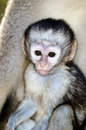 Alert baby vervet monkey an with mothers body in the background Royalty Free Stock Photography