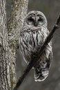 Alert Barred Owl, Strix varia, perched in a tree Royalty Free Stock Photo