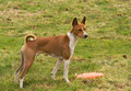 Alert Basenji Stock Photography